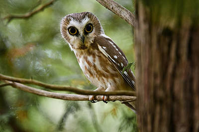 Saw-whet Owl Pictures  10 Poster by Owl Images