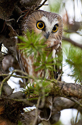 Saw-whet Owl Pictures  11 Poster by Owl Images