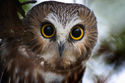 Saw-whet Owl Pictures  12 Poster by Owl Images