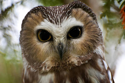 Saw-whet Owl Pictures  13 Poster by Owl Images
