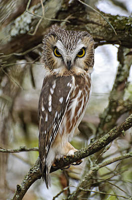 Saw-whet Owl Pictures  7 Poster by Owl Images