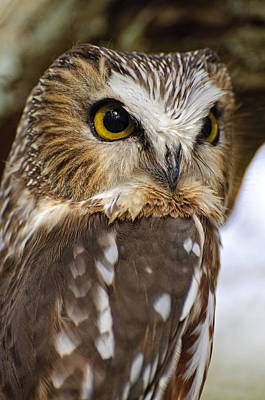 Saw-whet Owl Pictures  8 Poster by Owl Images