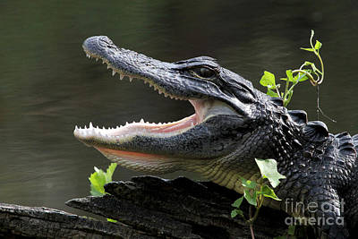 Say Aah - American Alligator Poster by Meg Rousher