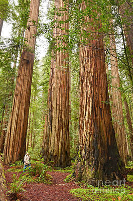 Scale - The Beautiful And Massive Giant Redwoods Sequoia Sempervirens In Redwood National Park. Poster