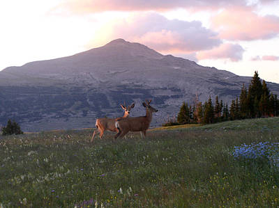 Scapegoat Deer Morning Alpenglow Poster by Pam Little