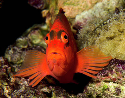 Scarlet Hawkfish Or Flame Hawkfish Poster by Nigel Downer