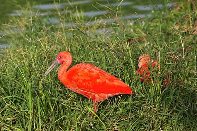 Scarlet Ibis (eudocimus Ruber Poster