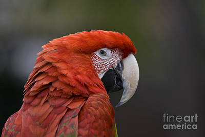 Poster featuring the photograph Scarlet Macaw by David Millenheft