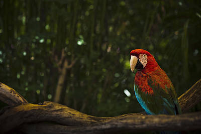 Scarlet Macaw Profile Poster