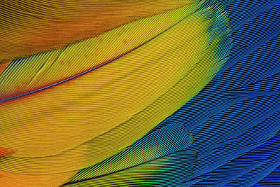Scarlet Macaw Wing Covert Feathers Poster by Darrell Gulin