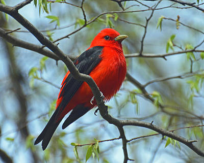 Scarlet Tanager In The Forest Poster