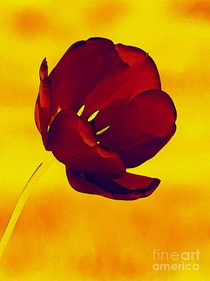 Scarlet Tulip At Sunset Poster