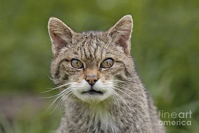 Scary Scottish Wildcat Poster by Philip Pound