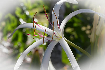 Spider Lilly Flower Poster