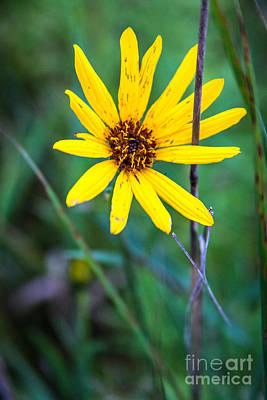 Schlitz Wild Flower Poster