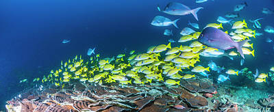 School Of Bluestripe Snappers Lutjanus Poster by Panoramic Images