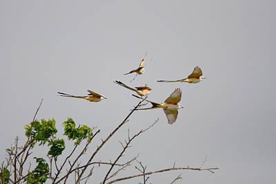Scissor-tailed Flycatchers In Flight Poster by Roy Williams