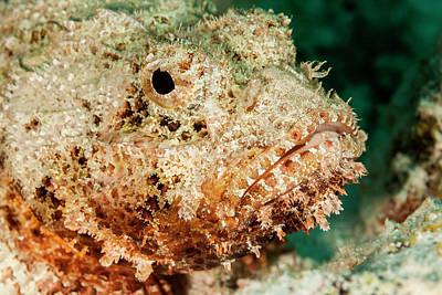 Scorpionfish Portrait, Bonaire, N Poster by James White