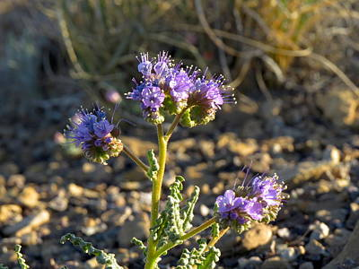 Scorpionweed Poster by Feva  Fotos