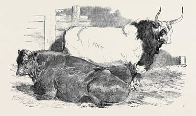 Scotch Polled, Class 1, First Prize, 10 Pure Italian Bull Poster by English School
