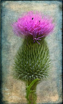 Scotch Thistle Poster