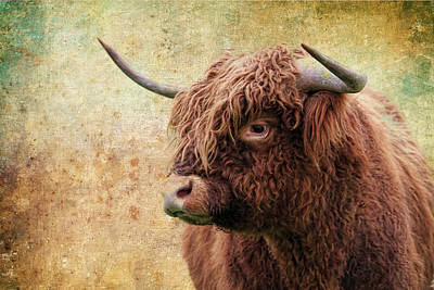 Scottish Highland Steer Poster by Steve McKinzie