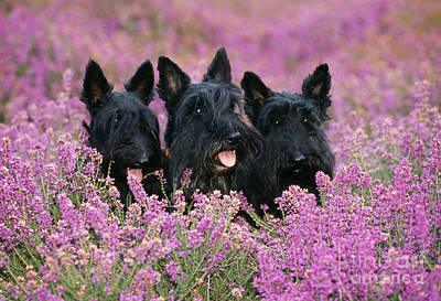 Scottish Terrier Dogs Poster by John Daniels
