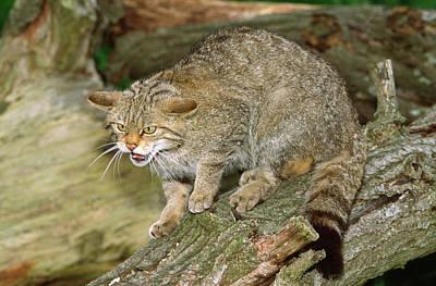 Scottish Wildcat Poster by Nigel Downer