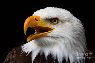 Poster featuring the photograph Screaming Bald Eagle by Nick  Biemans