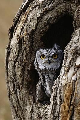 Screech Owl Poster by David Middleton