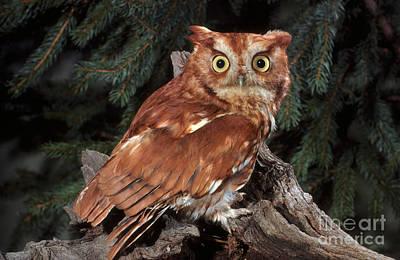 Screech Owl Poster by ER Degginger