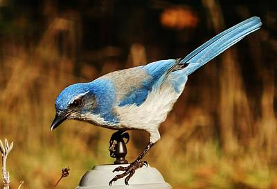 Poster featuring the photograph Scrub Jay by VLee Watson