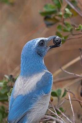 Poster featuring the photograph Scrub Jay With Acorn by Paul Rebmann