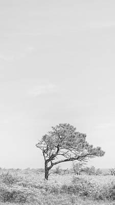 Scrub Pine Poster by Matt Owen