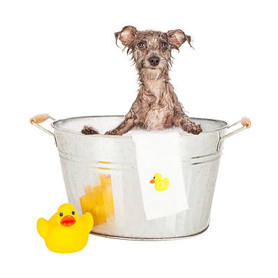 Scruffy Terrier In A Bath Tub Poster