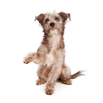 Scruffy Terrier Puppy Shaking Paw Poster
