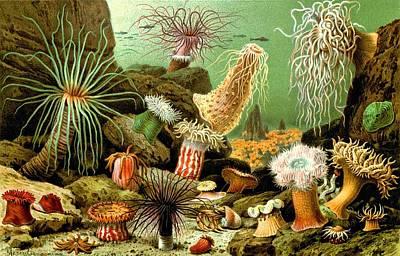 Sea Anemones Actiniaria Water Lilies Seenelken Poster by Movie Poster Prints