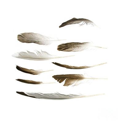 Sea Bird Feathers Poster by Jennifer Booher