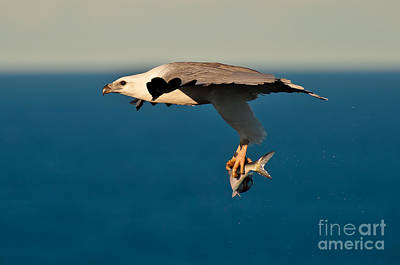 Sea Eagle With Catch Poster by Michael  Nau