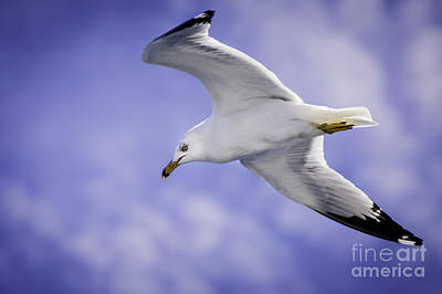 Sea Gull In Flight Poster by Timothy Hacker
