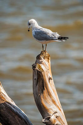 Sea Gull On Driftwood Poster by Paul Freidlund
