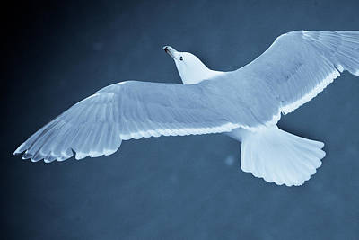 Sea Gull Over Icy Water Poster