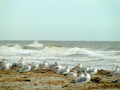 Sea Gulls In Windy Surf Poster by Cindy Croal
