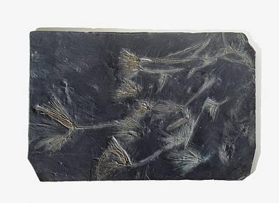 Sea Lilies Fossilised In Black Stone Poster by Dorling Kindersley/uig