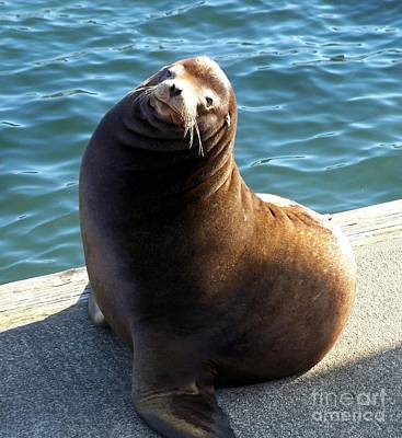 Sea Lion Basking In The Sun Poster by Chalet Roome-Rigdon