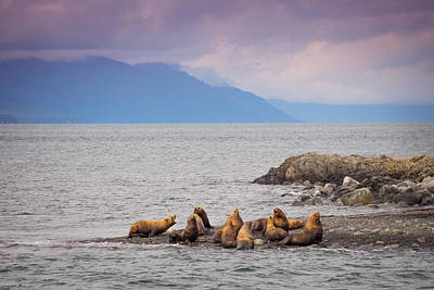 Poster featuring the photograph Sea Lion Bulls by Janis Knight