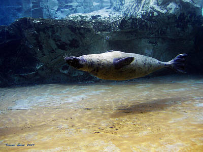 Poster featuring the photograph Sea Lion Swimming Upsidedown by Verana Stark