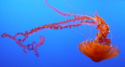 Sea Nettle Jellyfish Poster by Amelia Racca