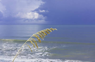 Sea Oats Ahead Of The Storm Poster
