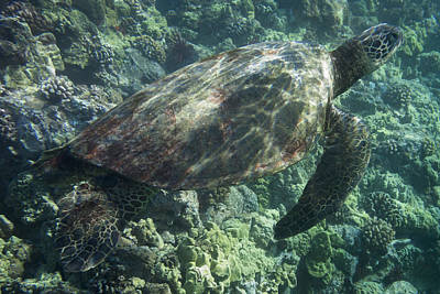 Sea Turtle Surfacing Poster by Don McGillis